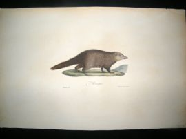 Saint Hilaire & Cuvier C1830 Folio Hand Colored Print. Mongoose